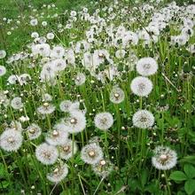 Dandelion Extract taraxacum root Powder Herbal Medicine
