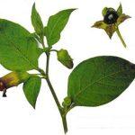 Atropa Belladonna Extract 0.7% -1.5% Hyoscyamine powder Atropine Scopolamine