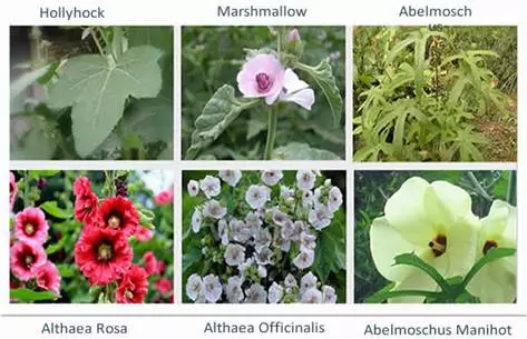 Marshmallow Root Extract Althaea officinalis powder